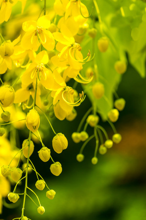 golden shower: Golden shower burgeon on every summer. Stock Photo