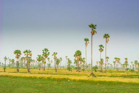 sugar palm: sugar palm fields on cornfield.