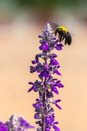 pollination: Carpenter Bee nectar and pollination summer colorful flower in garden. Stock Photo