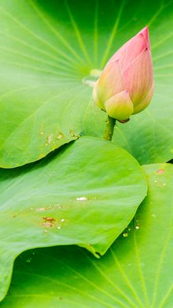 Beautiful pink lotus flower in pond after rain on rainy season.
