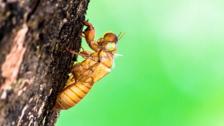 Cicada insect molting on tree in nature on summer. Stok Fotoğraf