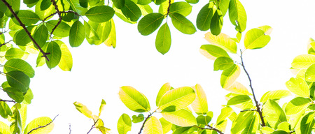 Panorama backlit tree leaves in home flower garden on sunny day with white background.