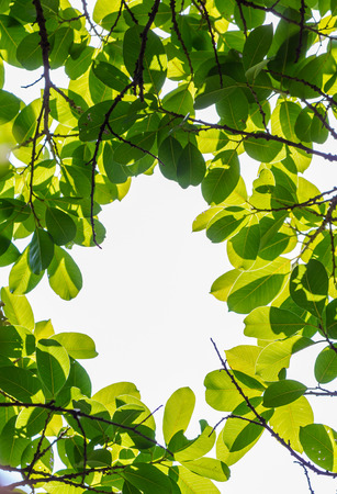 Backlit tree leaves in home flower garden on sunny day with white background. Banque d'images