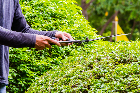 Gardener hands hold scissors and pruning bushes with expertise in cozy home garden on summer.