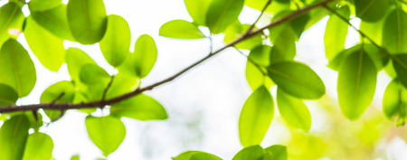 Backlit tree leaves in home flower garden on sunny day with white background. Reklamní fotografie