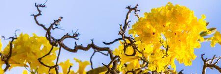 Close up Paraguayan silver trumpet tree in flower garden on summer.