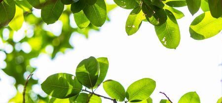 Backlit boombladeren in huis bloementuin op zonnige dag met witte achtergrond. Stockfoto