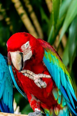 Closed Up beauty Scarlet macaw on limb in garden.
