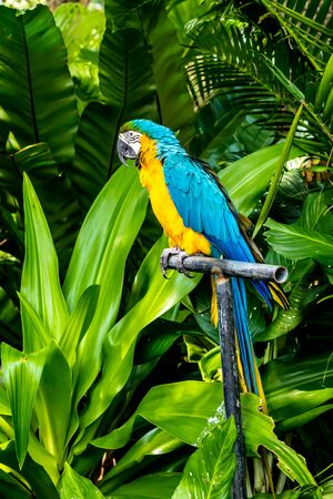 Closed Up beauty yellow and blue Macaw on limb in garden.