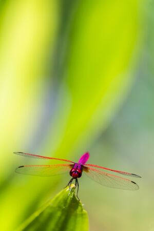 Metallic dragonfly perched on a leaf by a river in the garden.