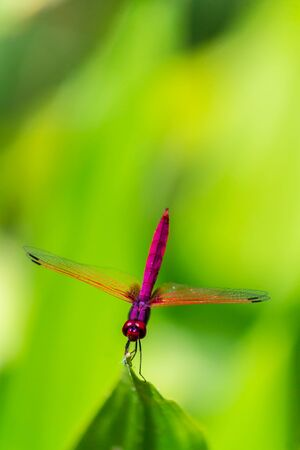 Metallic dragonfly perched on a leaf by a river in the garden. Banque d'images - 150163816