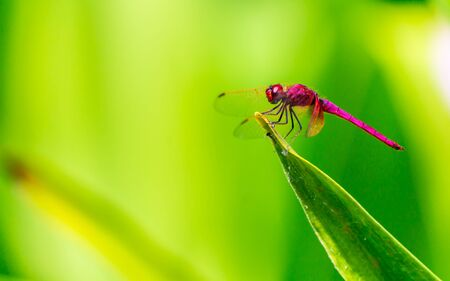 Metallic dragonfly perched on a leaf by a river in the garden. Banque d'images - 150163819