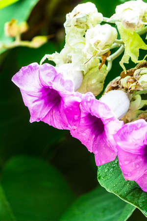 Elephant creeper flowers blooming in beauty cozy home flower garden on the rainy season.