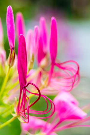 Spider flower flowers blooming in beauty cozy home flower garden on the rainy season.