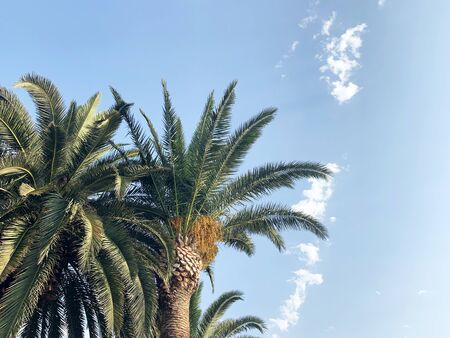 Tropical Palm Tree Green Leafs with Clear Partly Cloudy Blue Sky in Summer Holiday
