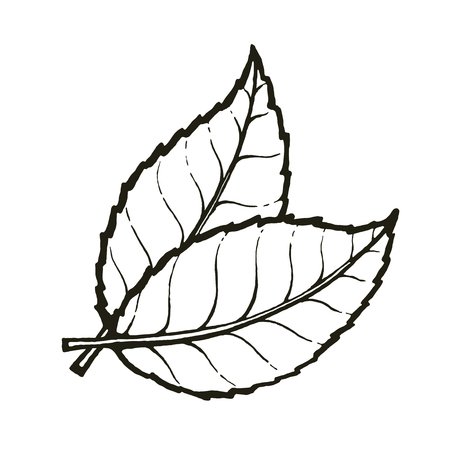 Vector of two leaves of tea or mint Çizim