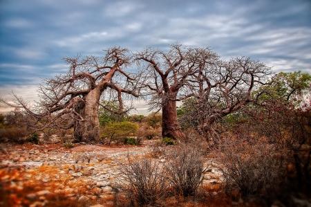 African Baobo Trees in Botswana - Kubu Island
