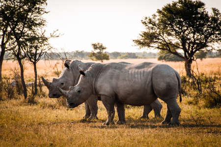 chobe national park: Two Rhinos - Botswana - one of the BIG FIVES