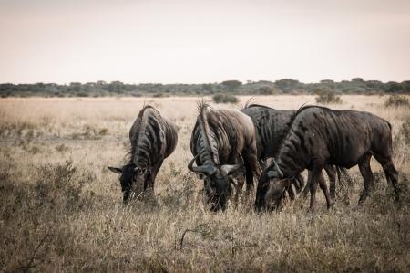 Wildbeest Botswana - Chobe National Park Standard-Bild