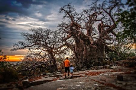 African Baobab Kubu Island