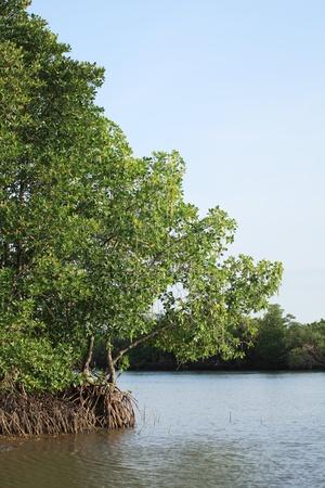 Big Mangrove in Thailand