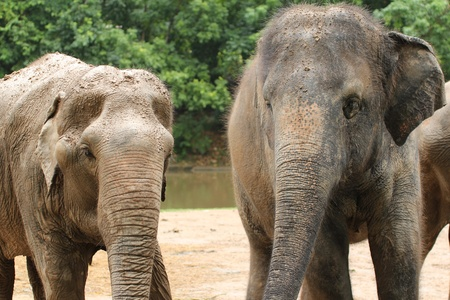 Asia Elephant in the zoo photo