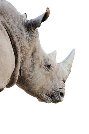 White Rhino in isolated Stock Photo