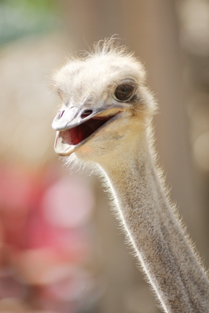 Ostrich Face smile Stock Photo