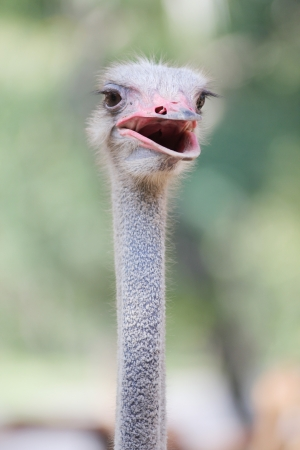 Ostrich Front side
