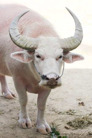 White Buffalo in the zoo photo