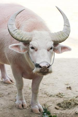 White Buffalo in the zoo
