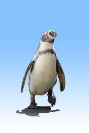 Penguin walk in blue Background