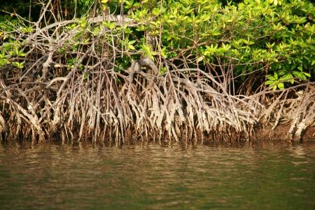 mangrove forest: Mangrove Root