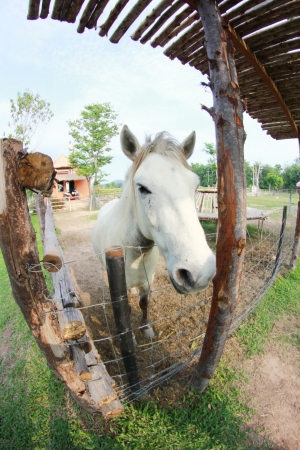 White horse in a cage