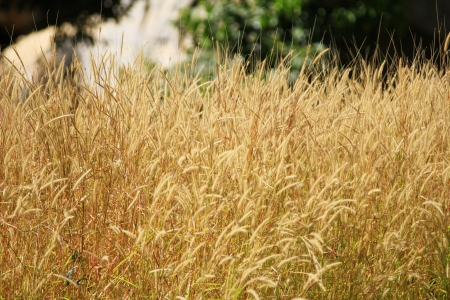 Grass in National park of thailand
