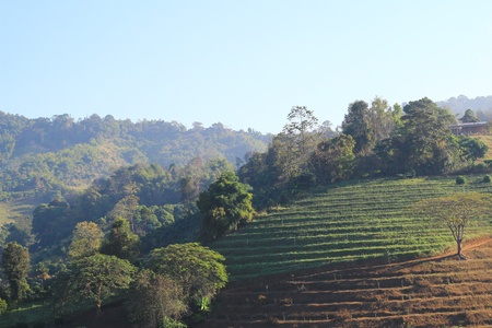 Hill of tea leaf in northern of thailand