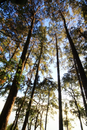 Pine forest in northern of thailand Stock Photo