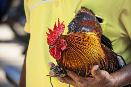 People wearing yellow shirts are carrying chickens. Stock Photo