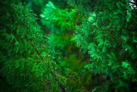 Closeup of a fir tree in the rain.