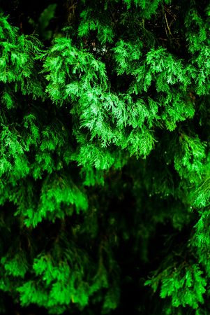 A fir tree in the rain with ample copyspace for text. Stock Photo