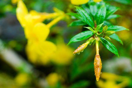 Closeup shot of a Yellow Allamanda (Allamanda cathartica) flower bud after the rain