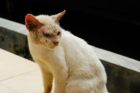An ugly cat with skin disease. It has different colored eyes, blue on one side and green on the other.
