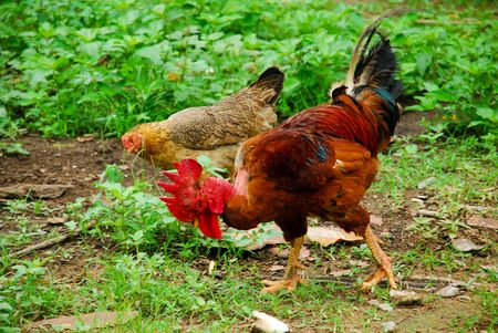 A rooster and a few hen in a rural village