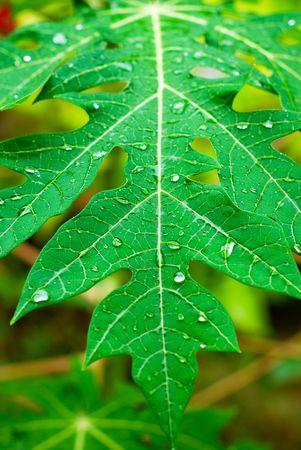 Closeup of a papaya tree leaf after the rain