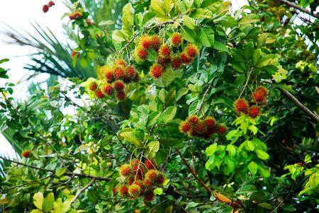 Ripe Rambutan fruits (Nephelium lappaceum)