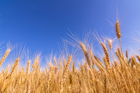 yellow stem: Ripe wheat ears and blue sky.