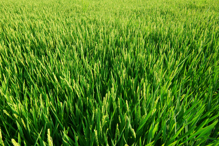 Rice paddy field in europe.
