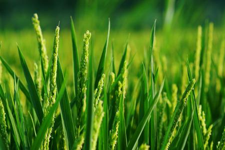 grain fields: Close up of rice plant on european field.