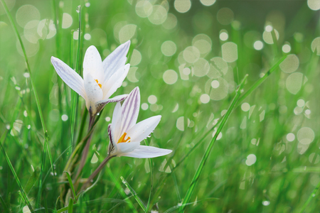 Wild spring white crocus flower in a lawn stock photo picture and stock photo wild spring white crocus flower in a lawn mightylinksfo