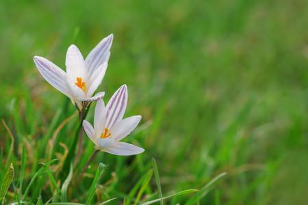 ボケの背景を持つ日当たりの良い春の森のグレードに美しい森のプリムローズクロッカスの花。 写真素材